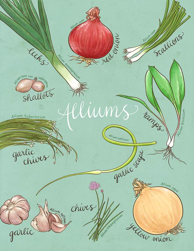Homesteading Guide to Allium | A Homesteading Guide To Allim - Onions, Garlics, Chives, and Allium Flowers
