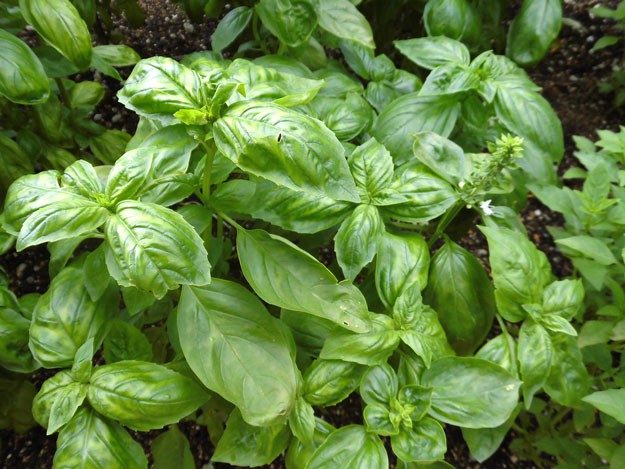 Basil | Top 5 Medicinal Herbs To Grow At Home | Homesteading Tips