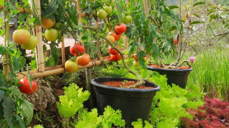 Fresh Tomato and Lettuce in Nontoxic Vegetable Garden | Secrets To Growing Fruit Trees In Containers