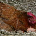 The Best Egg Laying Chickens For Your Homestead
