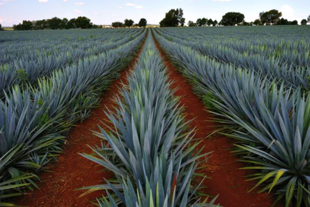 Agave | Stunning Drought-Tolerant Plants For Low-Maintenance Landscapes