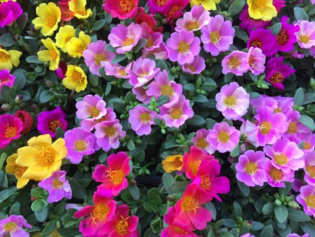 "Purslane ""Portulaca"" 