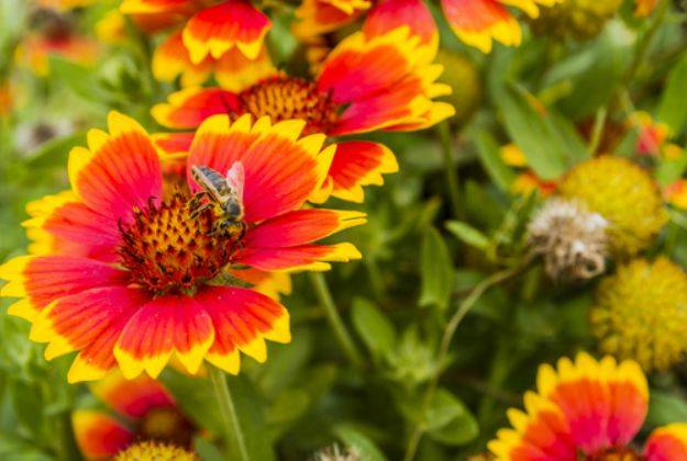 "Indian Blanket Flowers ""Gaillardia"" 