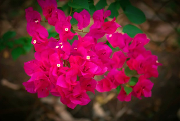 Bougainvillea | Stunning Drought-Tolerant Plants For Low-Maintenance Landscapes