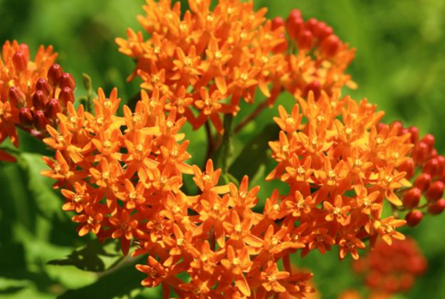 """Butterfly Weed """"Asclepias Tuberosa"""" 