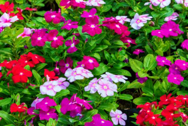 Vinca Or Periwinkle | Stunning Drought-Tolerant Plants For Low-Maintenance Landscapes