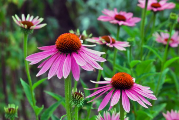 "Coneflowers ""Echinacea"" 