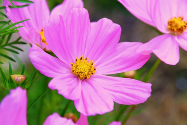 Cosmos Plants | Stunning Drought-Tolerant Plants For Low-Maintenance Landscapes