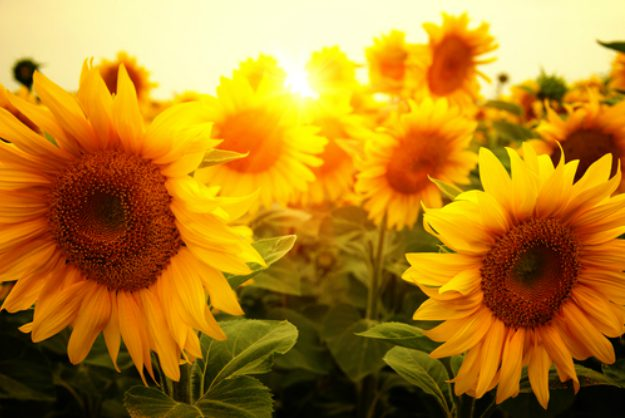 "Sunflowers ""Helianthus"" 