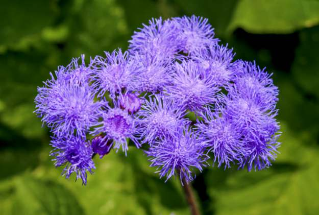 "Whiteweed ""Ageratum"" 