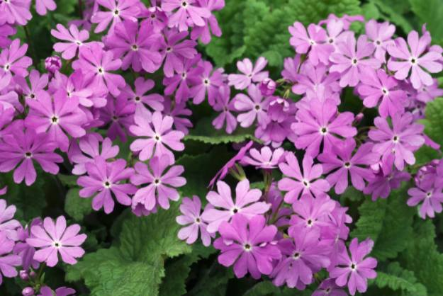 Primula | Stunning Drought-Tolerant Plants For Low-Maintenance Landscapes