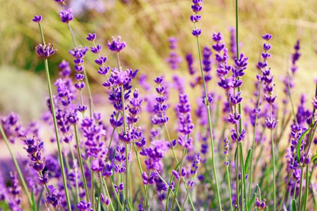 "Lavender ""Lavandula"" 
