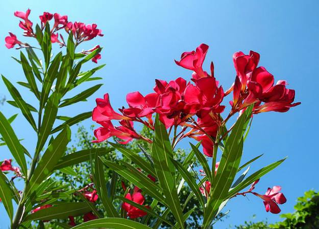 "Oleander ""Nerium Oleander"" 