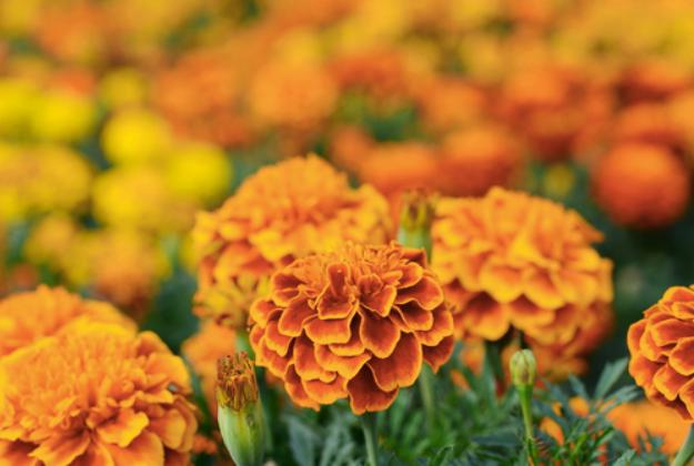 Marigold | Stunning Drought-Tolerant Plants For Low-Maintenance Landscapes