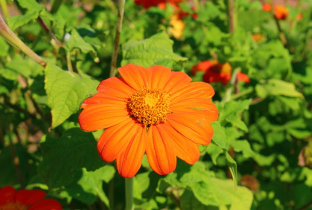 Torch Tithonia | Stunning Drought-Tolerant Plants For Low-Maintenance Landscapes