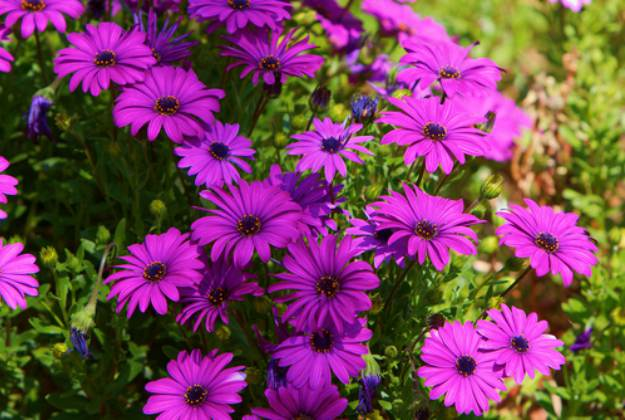 "African Daisy ""Gerbera"" 