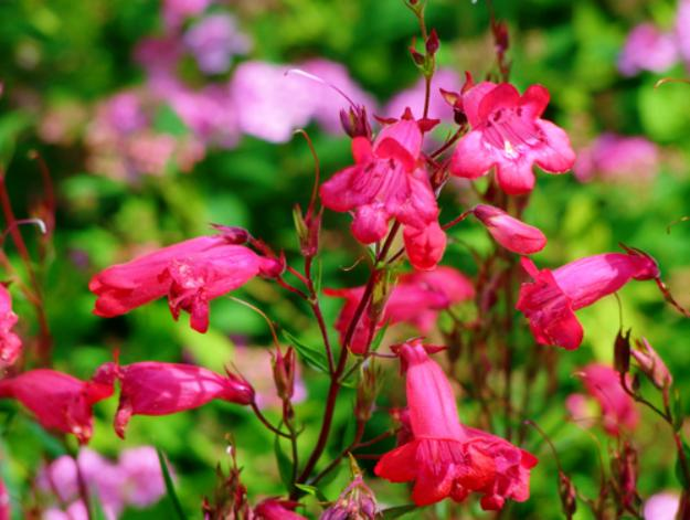 Beardtongues Or Penstemon | Stunning Drought-Tolerant Plants For Low-Maintenance Landscapes