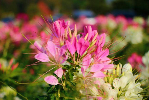 Cleome | Stunning Drought-Tolerant Plants For Low-Maintenance Landscapes