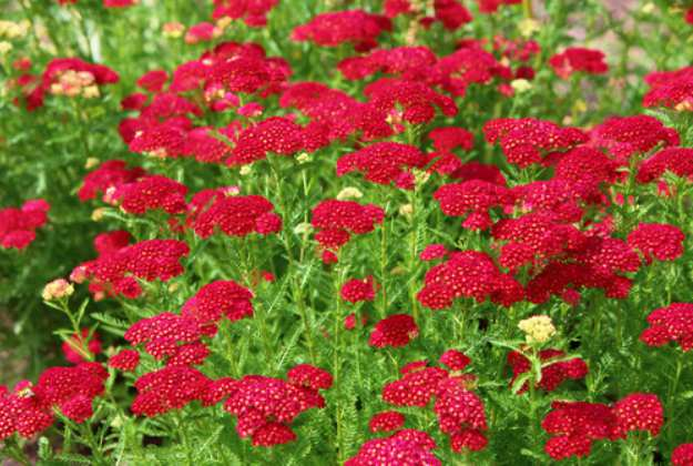 "Yarrow ""Achillea Millefolium"" 