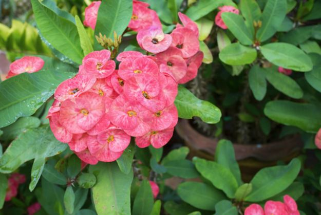 """Euphorbia Milii"" or Crown Of Thorns 