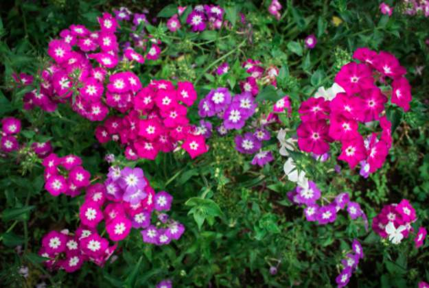 Verbena Or Vervain | Stunning Drought-Tolerant Plants For Low-Maintenance Landscapes