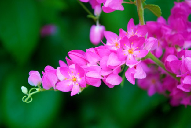 Coral Vine or Mexican Creeper | Stunning Drought-Tolerant Plants For Low-Maintenance Landscapes