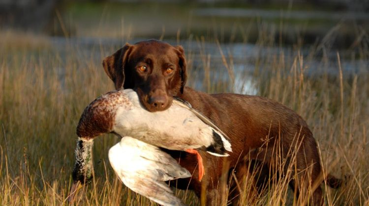 hunting chocolate labrador retriever | How to Train a Hunting Dog To Retrieve | Duck Hunt Dog | featured