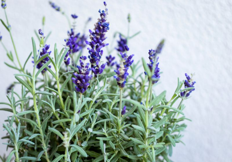 beautiful violet lavender green leaves light | southern california drought tolerant plants