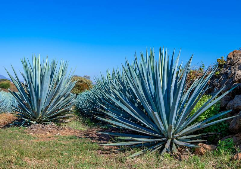 blue agave field tequila jalisco mexico | drought tolerant plants california