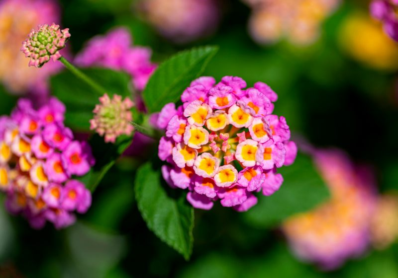 colorful hedge flower shallow depth field | drought tolerant plants southern california