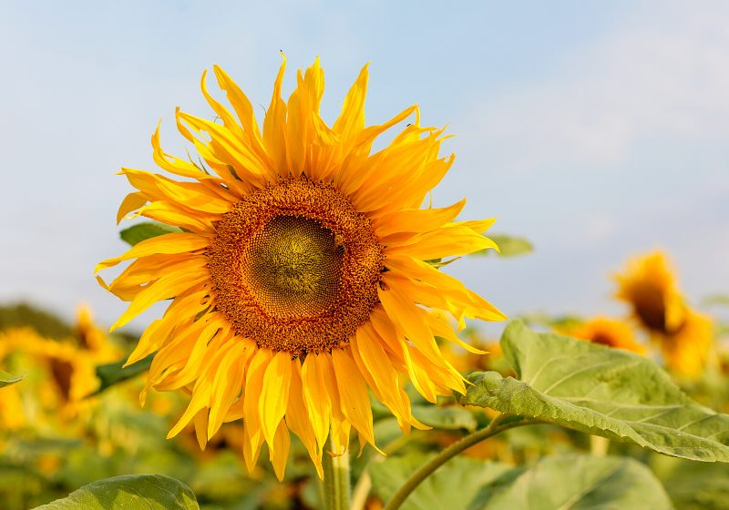 common sunflower large annual forb genus | drought tolerant plants in india