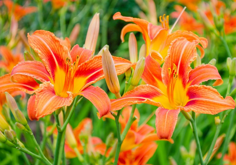 daylily brownyellow flowerbed against foliage hemerocallis | drought tolerant plants for pots
