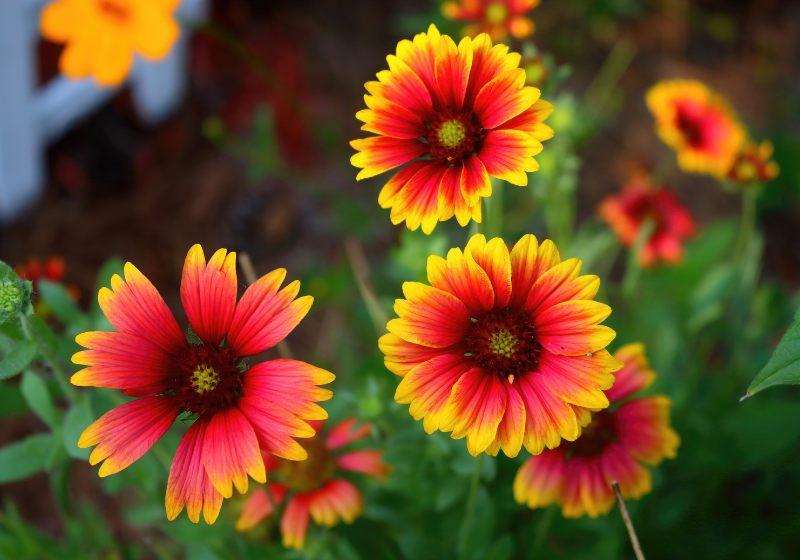 indian blanket flowers showing their beauty | drought tolerant container plants