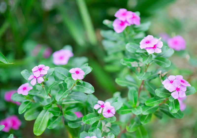 madagascar periwinkle vinca old maid cayenne | tall drought tolerant plants