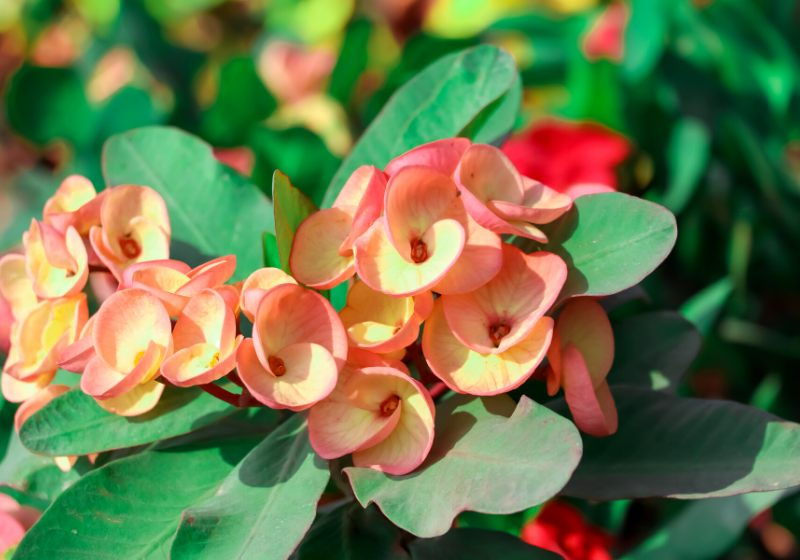 red euphorbia milii desmoul flower blooming | drought tolerant tropical plants