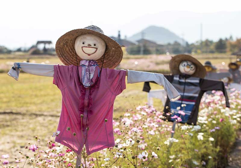 Paddy field with scarecrow and cosmos flowers | scarecrows