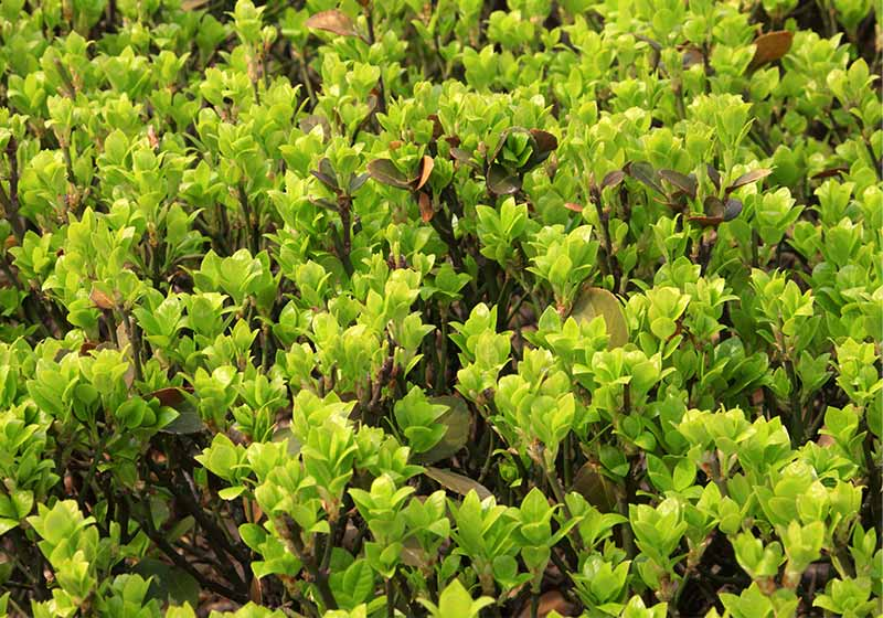 Buxus sinica leaves in a garden   cold weather plants