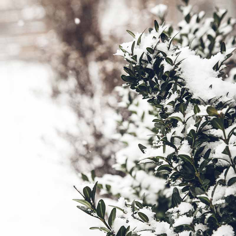 Winter background with frosty boxwood   cold weather plants